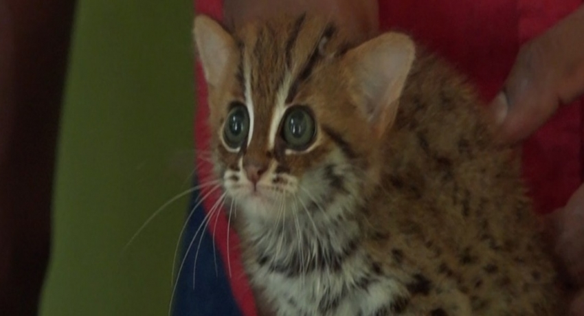 02 month old Fishing Cat saved from trafficker