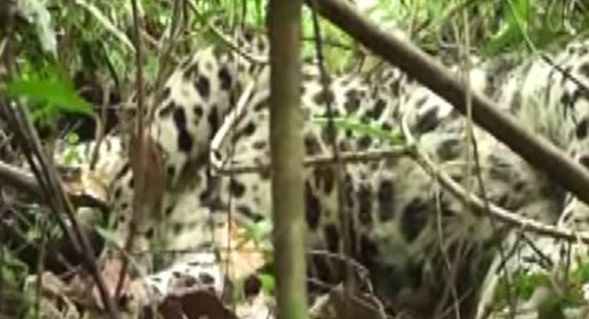 Leopards vulnerable to snare traps, ecologists warn