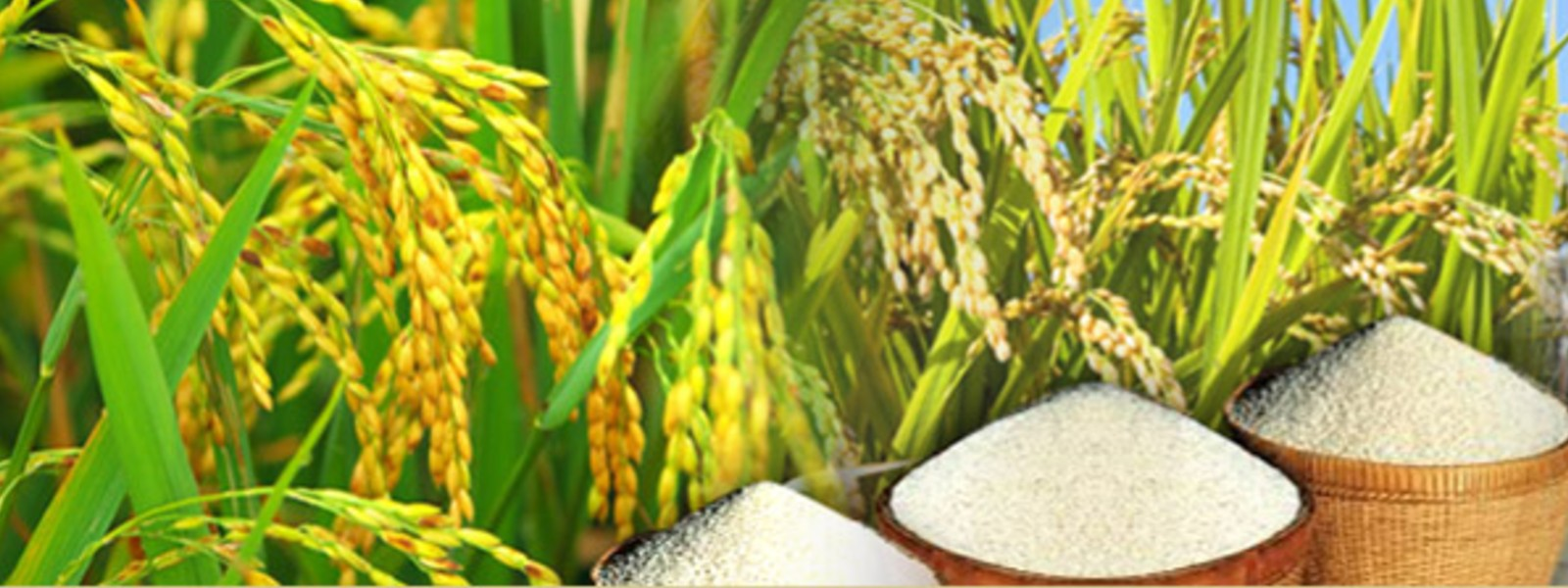 Paddy stocks to be sold via Sathosa after threshing them into rice