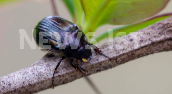 EXCLUSIVE :  Four new species of Beetles identified in Sri Lanka