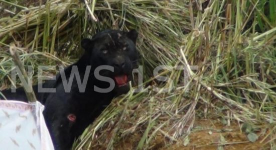 Man who set-up snare which trapped a rare Black Leopard arrested