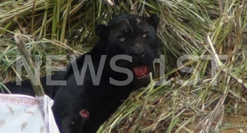 Rare Black Leopard trapped in a Snare in Nallathanniya