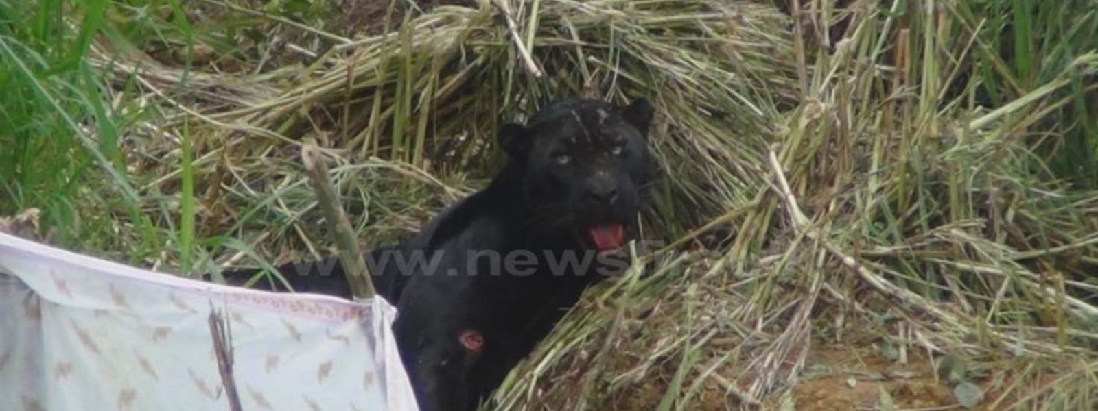 Rare Black Leopard recently rescued from a snare dies