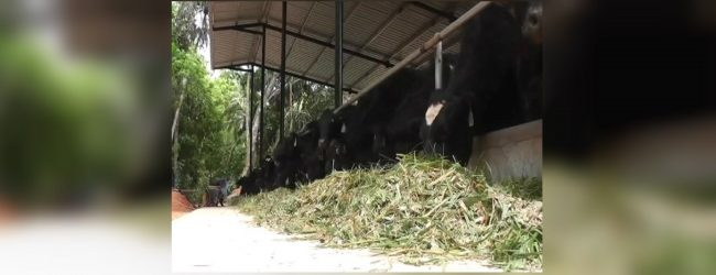 SL Govt to import 2,500 cows from Australia, less than a year after scandal
