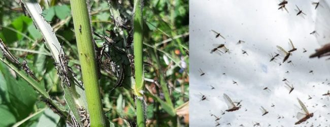 Locusts attack multiple farmlands in Kurunegala –  measures taken to contain the spread