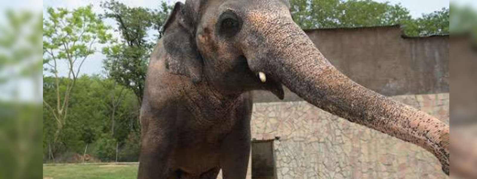 Lonely Sri Lankan Elephant Kaavan, to be released from Islamabad zoo under court order.