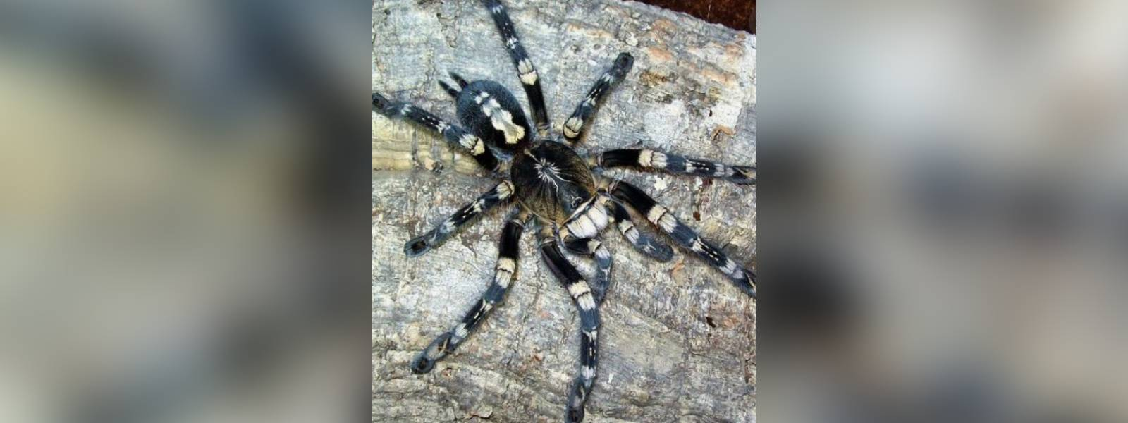 Sri Lankan researchers believe they have discovered endemic spider
