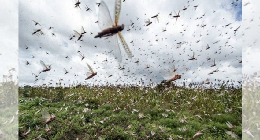 Swarms of crop-eating locusts spreading in India may reach Sri Lanka as well: a warning from Dept. of Agriculture