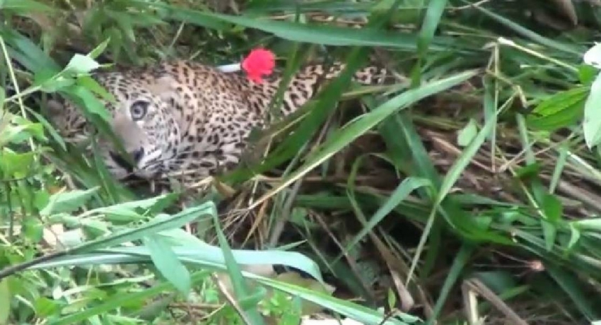 Leopard trapped in a snare in Yatiyanthota