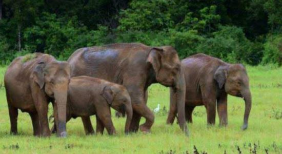 Environmentalists urge stable habitats for elephants