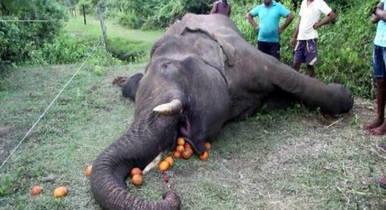 Automatic weapon used to kill tusker in Ambanpola; says Wildlife Veterinarian