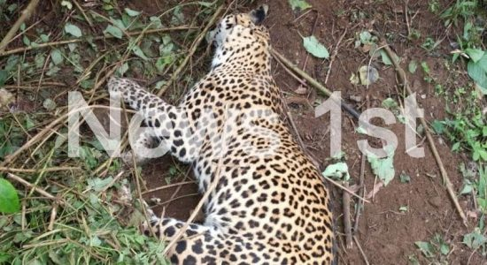 Pussellawa Leopard Cub released back to the wild