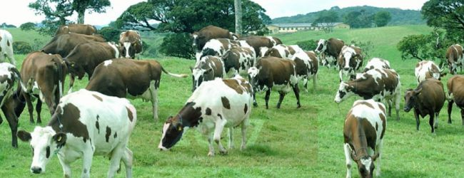 The importation of heifers criticized once again