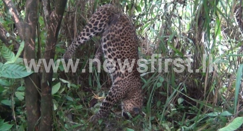 (VIDEO) Another Leopard found dead, trapped in a snare in Nawalapitiya