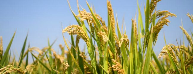 CAA prohibits the use of rice or paddy for animal feed production