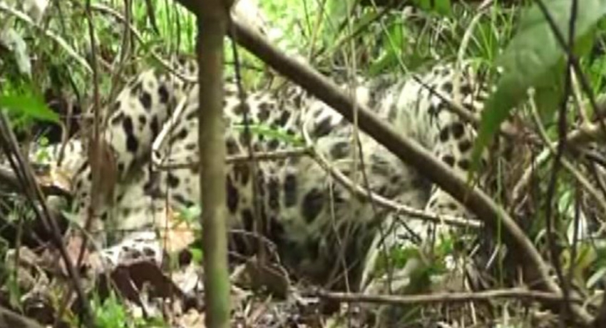 Leopard trapped in a snare in Ginigathhena; suspect arrested
