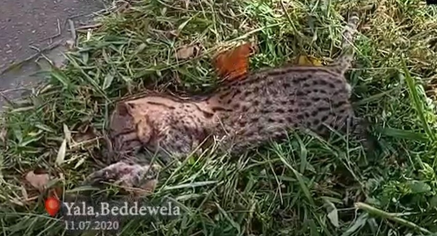 (VIDEO) Speeding vehicle suspected of knocking down fishing cat in Haputhale