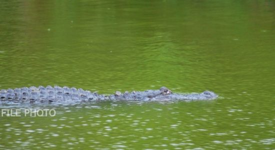Crocodile drags away 03 year old in Kurunegala