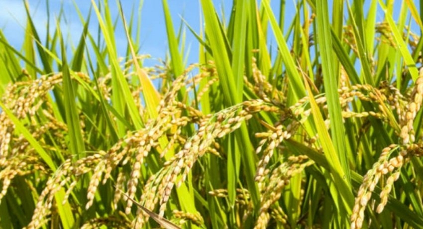 Treasury releases funds to Paddy Marketing Board for Yala season's harvest