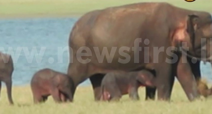 (VIDEO) Elephant gives birth to twins at Minneriya National Park
