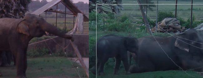 (VIDEO) Smart Elephant herd crawl under & break through fence to reach farmland