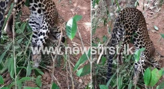 Leopard found dead trapped in a snare; this time in Gampola