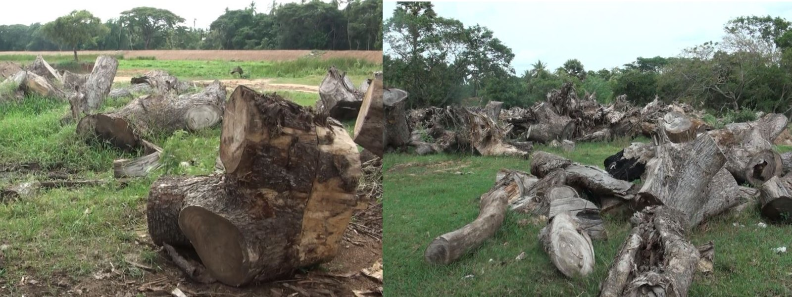 100 year old tree cut down under the guise of renovating agrarian tank in A'pura