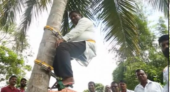 (VIDEO) Sri Lanka's State Minister of Coconuts goes up tree to address coconut shortage