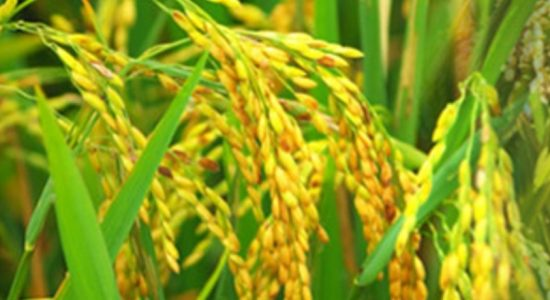 Cabinet approves working capital requirement for secure rice stocks