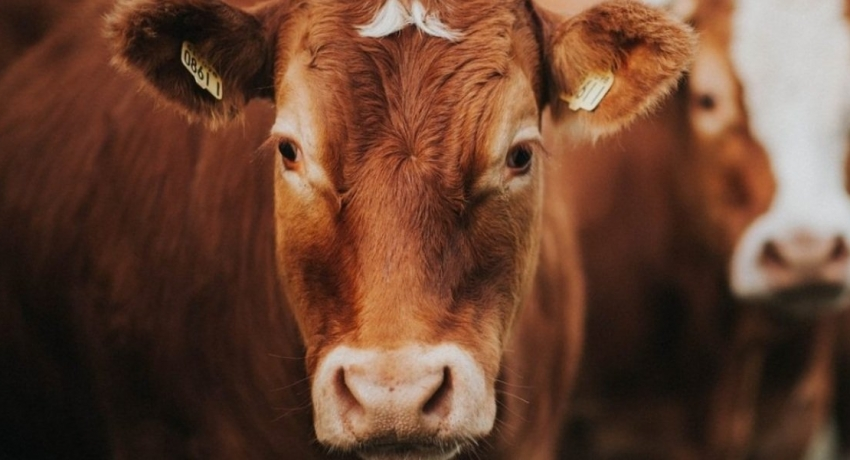 Government announces that the decision on 'cattle slaughter' has been postponed by a month.