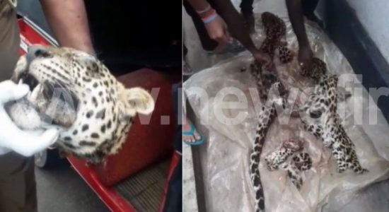 Another Leopard killed; 03 people arrested for attempting to sell Leopard meat