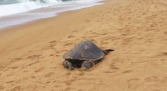 10 turtle carcasses discovered on Sri Lankan shores