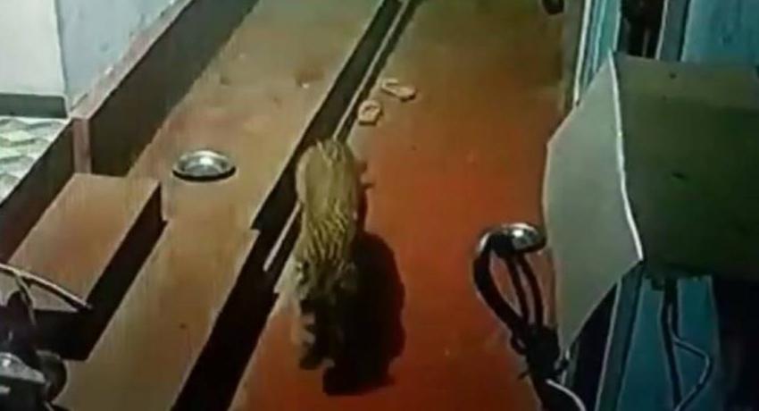 Leopard snatches pet dog in Nuwara Eliya