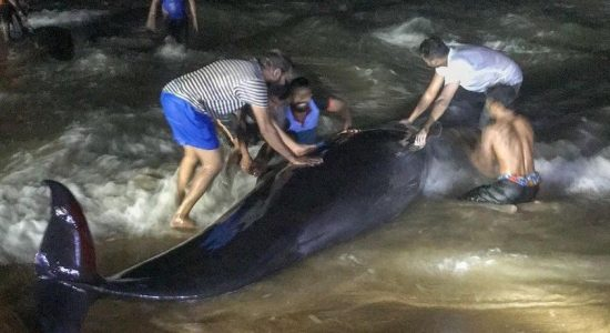 (VIDEO) Largest whale stranding in Sri Lanka draws epic volunteer rescue effort