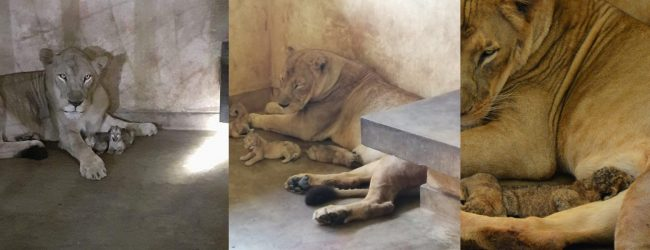 Lion cubs born at Ridiyagama Safari Park