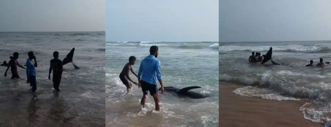 (VIDEO) More than 100 whales beached on the Panadura Coast