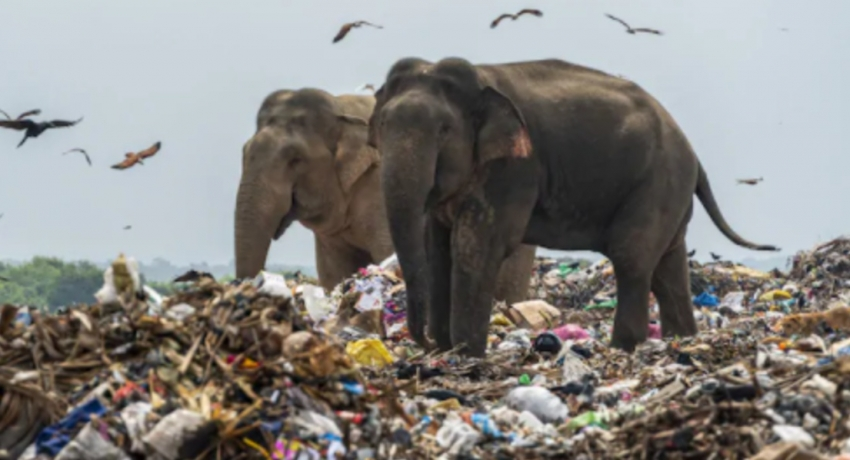 Measures underway to prevent elephants from consuming polythene