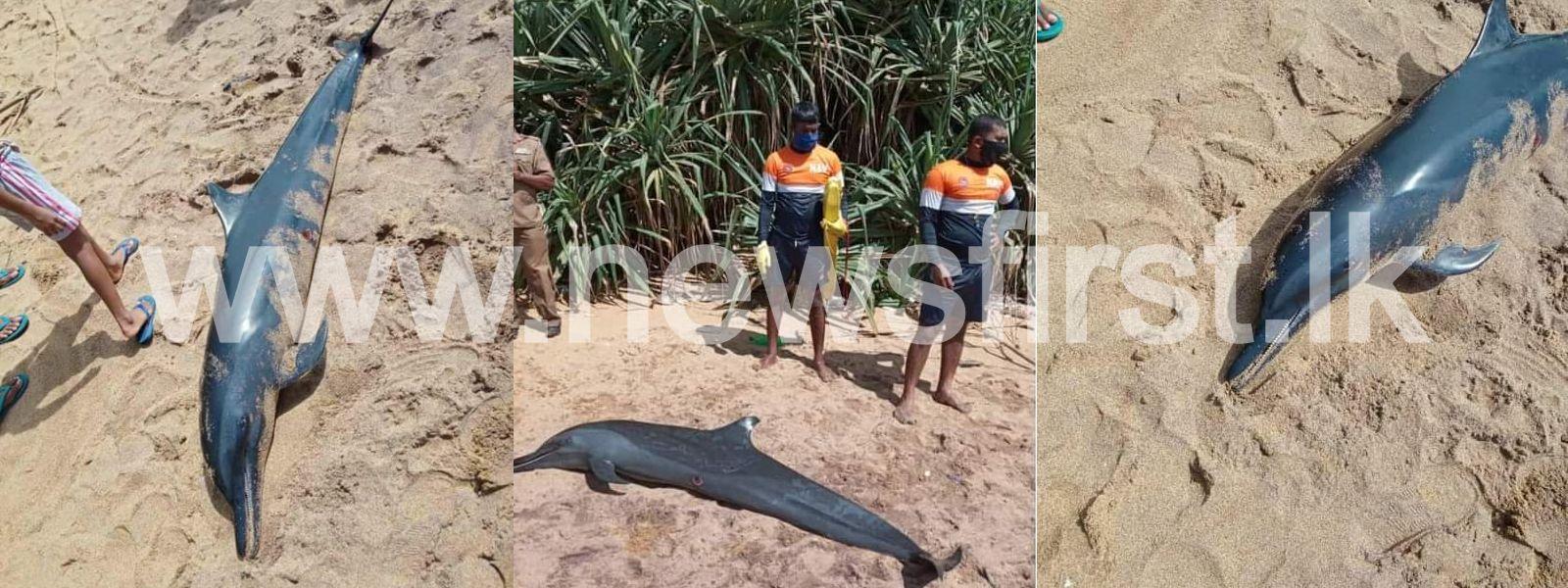 03 dolphins washed ashore in Katukurunda, Kalutara