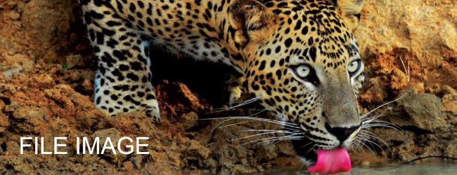 12th Leopard death reported from Matale