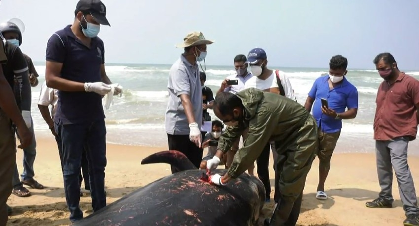 03 Pilot-Whales dead after mass beaching on Sri Lanka's West Coast