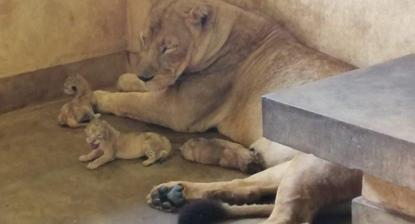 Lion cubs born at Ridiyagama Safari Park