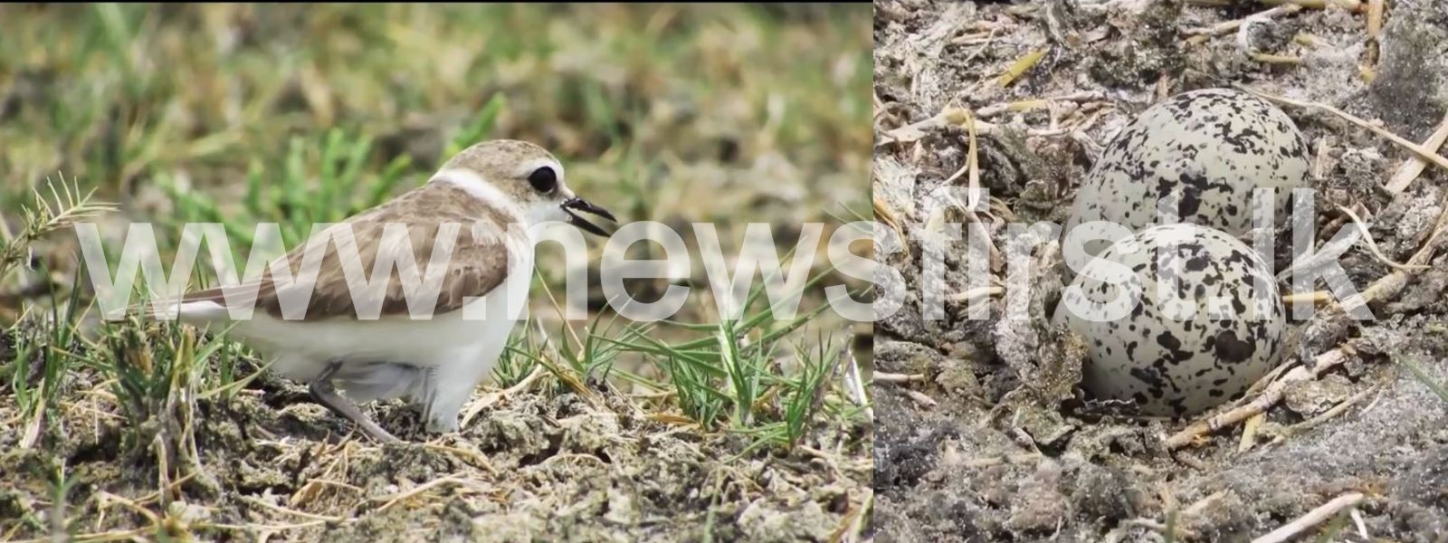 'Hanuman Plover' – New bird species discovered in Sri Lanka