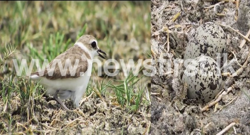 'Hanuman Plover' – New bird species discovered in Sri Lanka