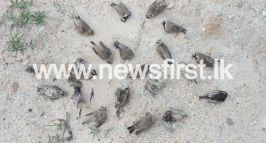 SCORES OF BIRDS FOUND DEAD IN ELUWANKULAMA