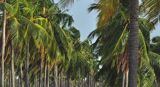Crackdown on sand mining at coconut estates