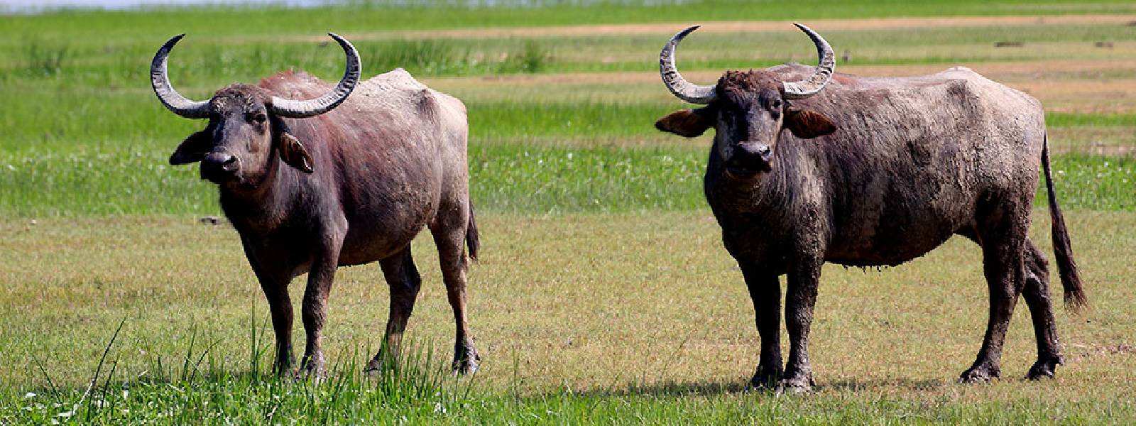Buffaloes die of unidentified disease in Polonnaruwa