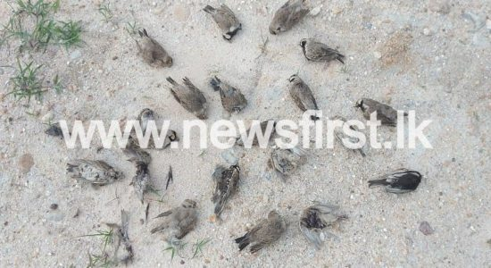 SCORES OF BIRDS FOUND DEAD IN ELUWANKULAMA
