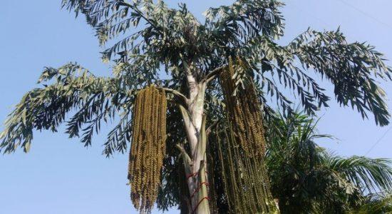 Kithul will be a plantation crop