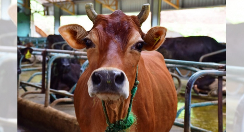 OVER 7500 CATTLE INFECTED WITH NEW VIRUS