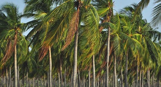 MANDATORY TO OBTAIN PERMISSION TO FELL COCONUT TREES